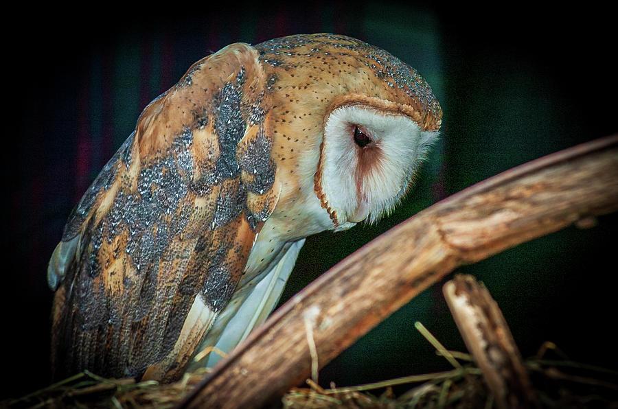 Sad Owl in the Barn by Louis Dallara