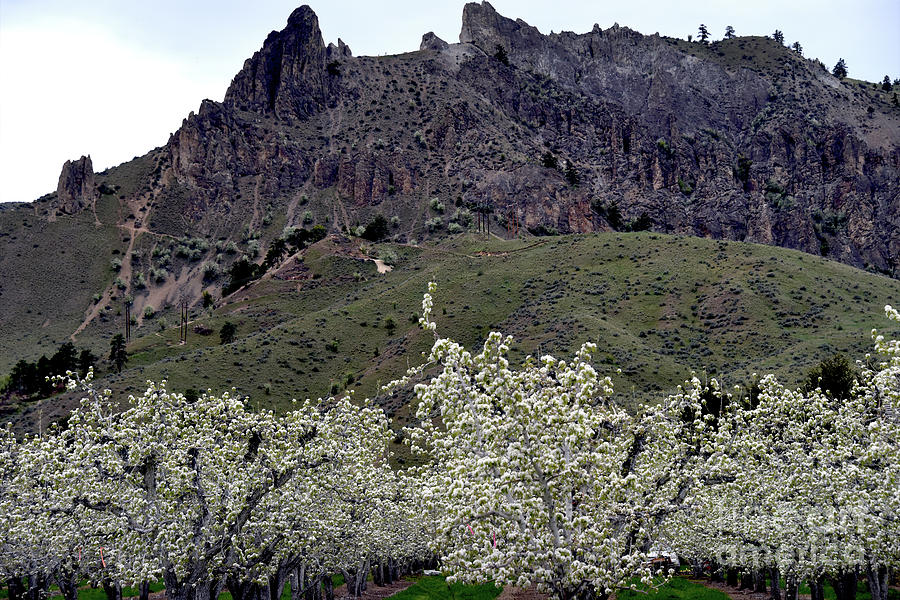 Prints Photograph - Saddle Rock And Apple Blooms by Mae Wertz