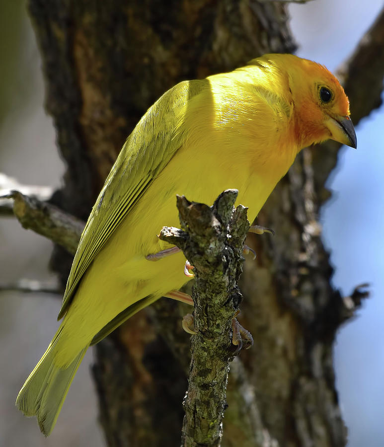 Saffron Finch by Pamela Walton
