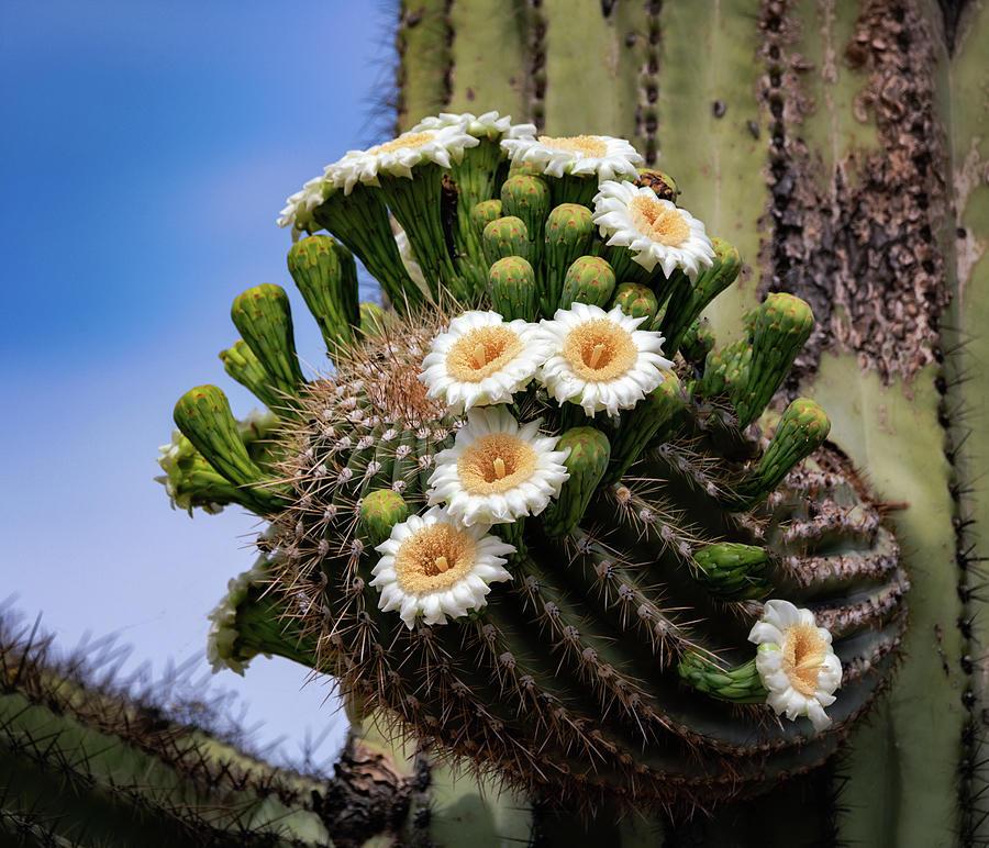 Saguaro Abloom  by Saija Lehtonen