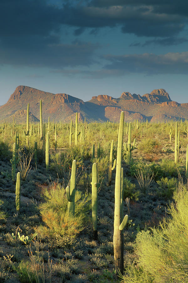 Saguaro Cactus In Sonoran Desert And Photograph by Kencanning