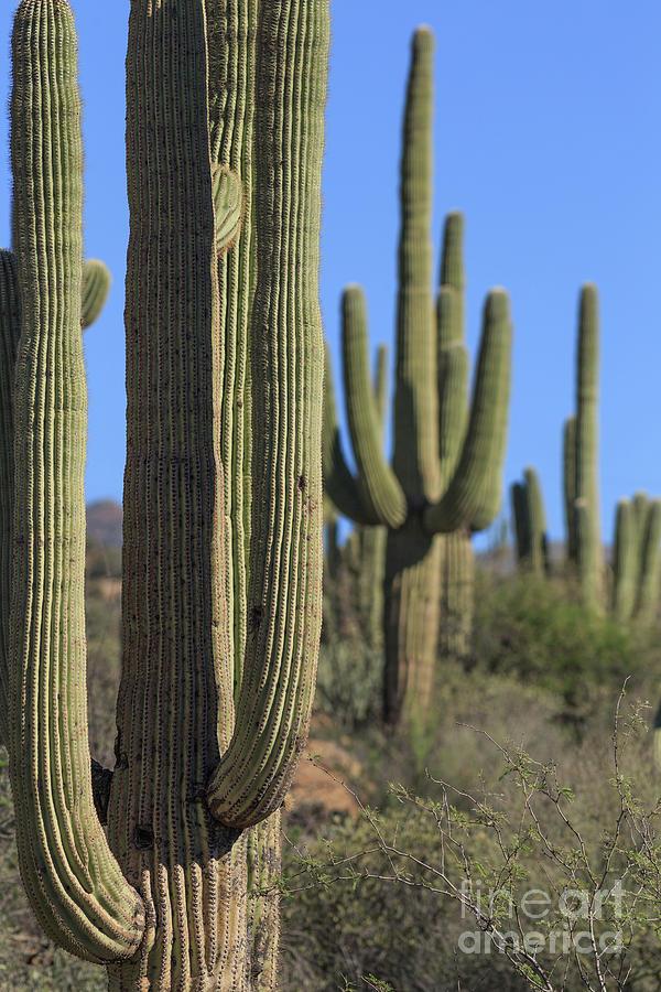 Cactus Photograph - Saguaro Cactus In The Arizona Desert by Edward Fielding