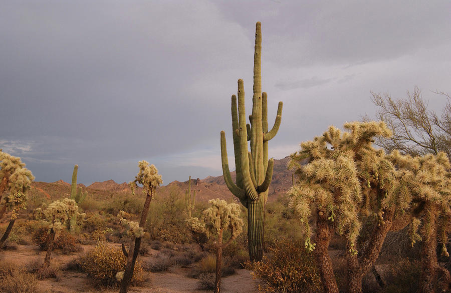 Saguaro Cactus In The Desert Photograph by Steve Lewis Stock