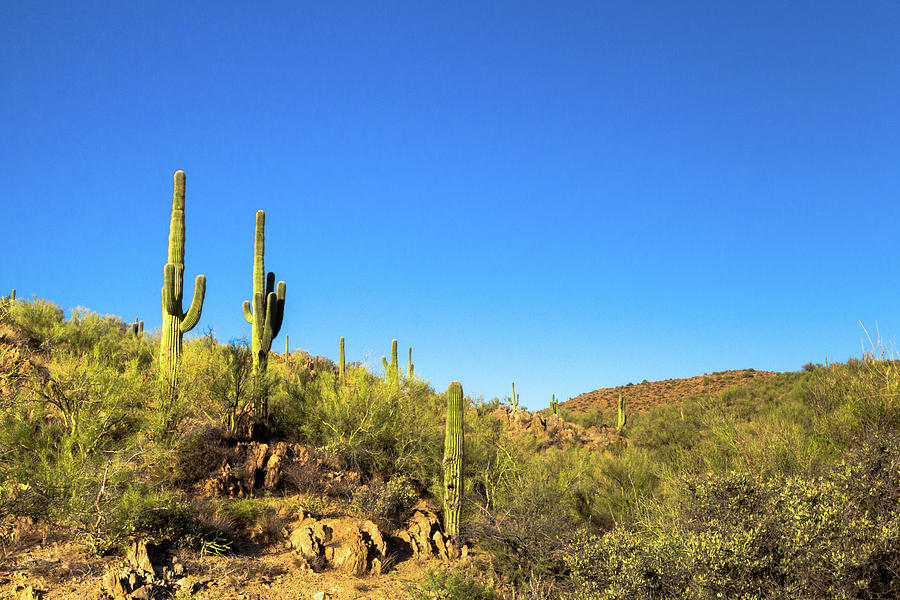 Saguaro Cactus Patch by SR Green