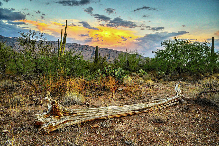 Saguaro Cactus Skeleton and Rincon Mountains by Chance Kafka