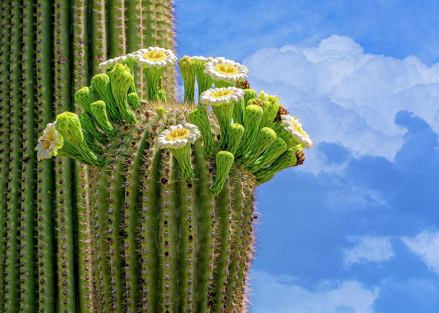 Saguaro In Bloom H1508 Photograph