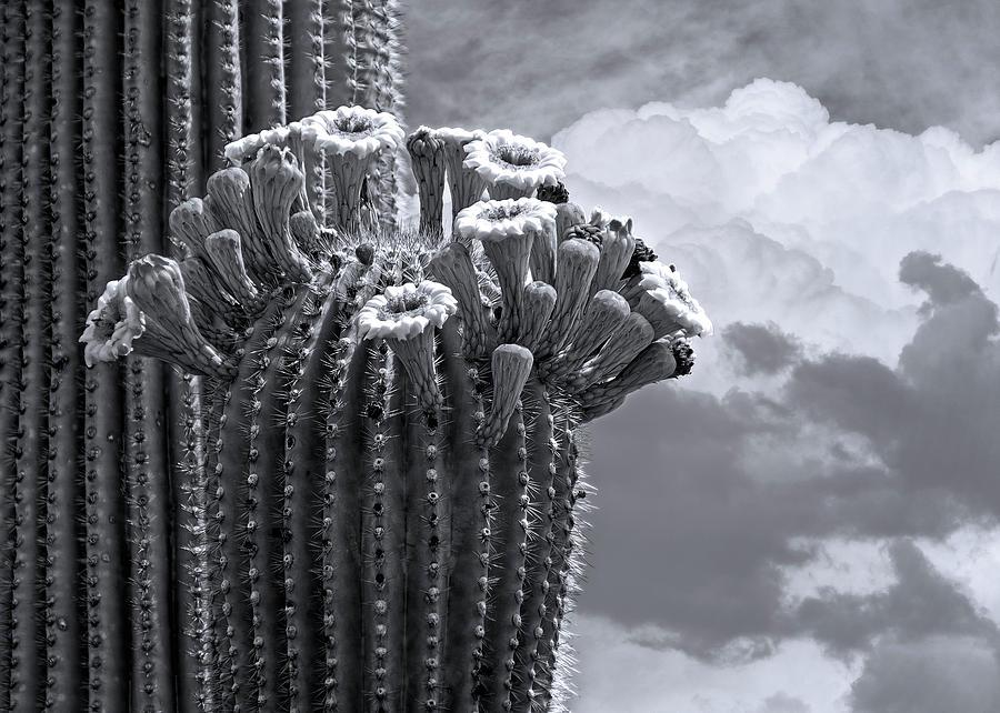Saguaro In Bloom Hb1509 Photograph
