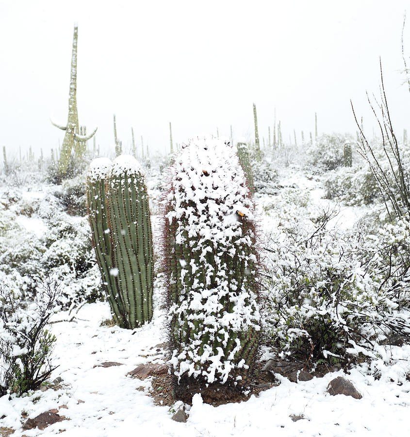 Saguaro in the Snow by Jean Clark