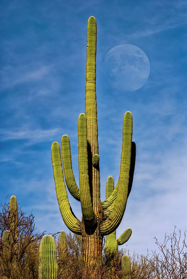 Saguaro Moon V1133 Photograph