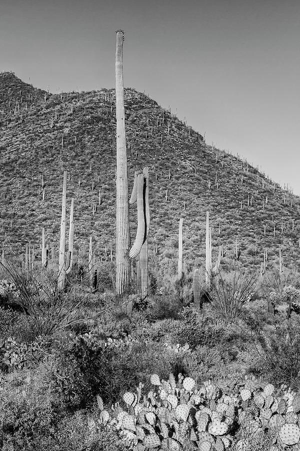 American West Photograph - Saguaro National Park Scenic Impression - Monochrome by Melanie Viola