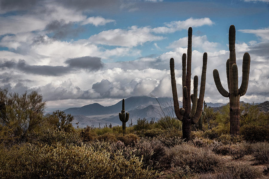 Saguaro Sentinels  by Saija Lehtonen