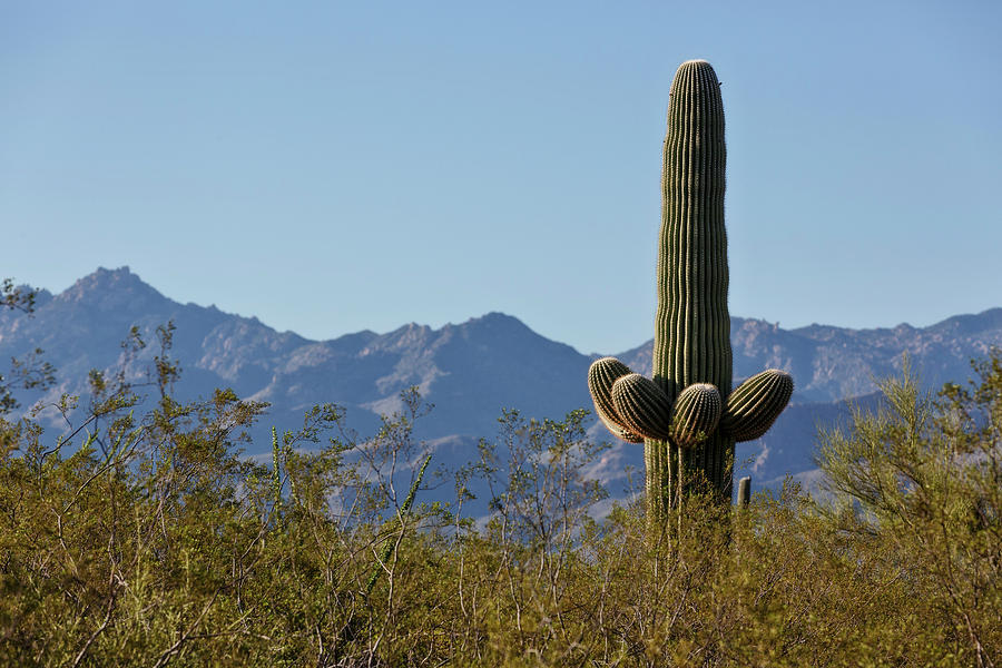 Saguaro Standing Tall by Wes and Dotty Weber
