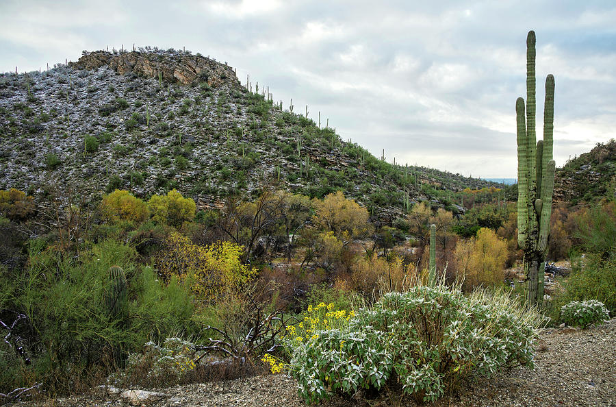 Saguaros with fall colors and snow by Dave Dilli