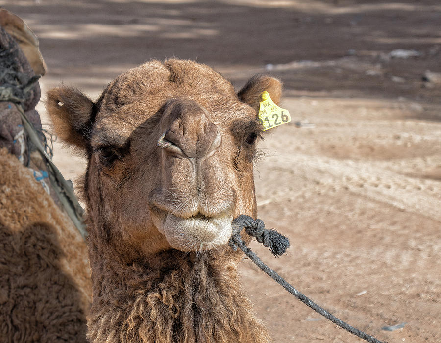 Saharan Camel by Photos By Pharos