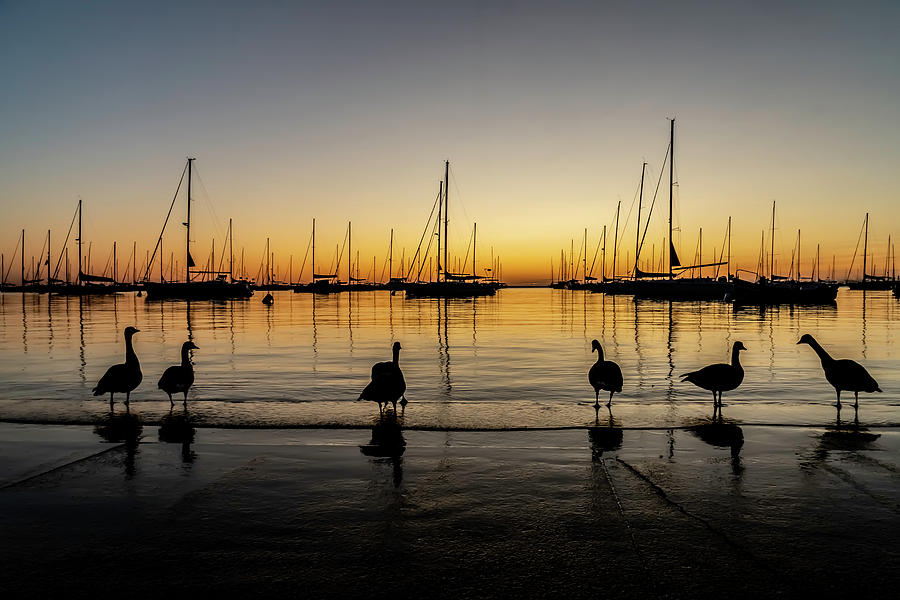 Sailboats and Geese in a Chicago Harbor one beautiful morning by Sven Brogren