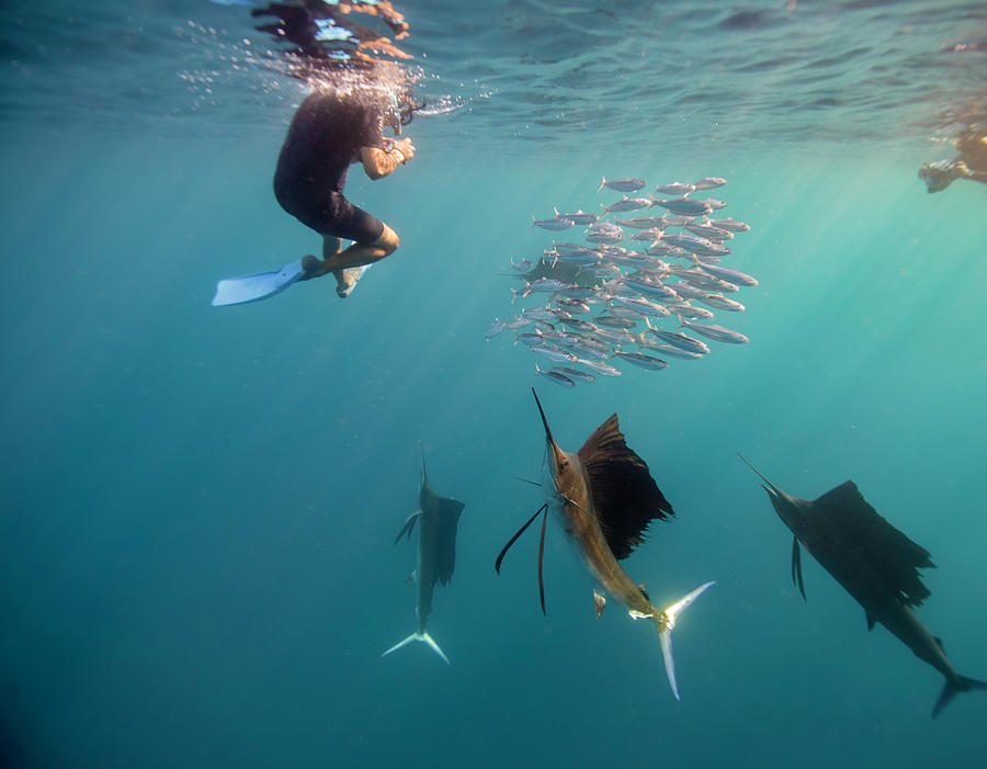 Sailfish And Snorkeler Standoff Photograph by By Wildestanimal