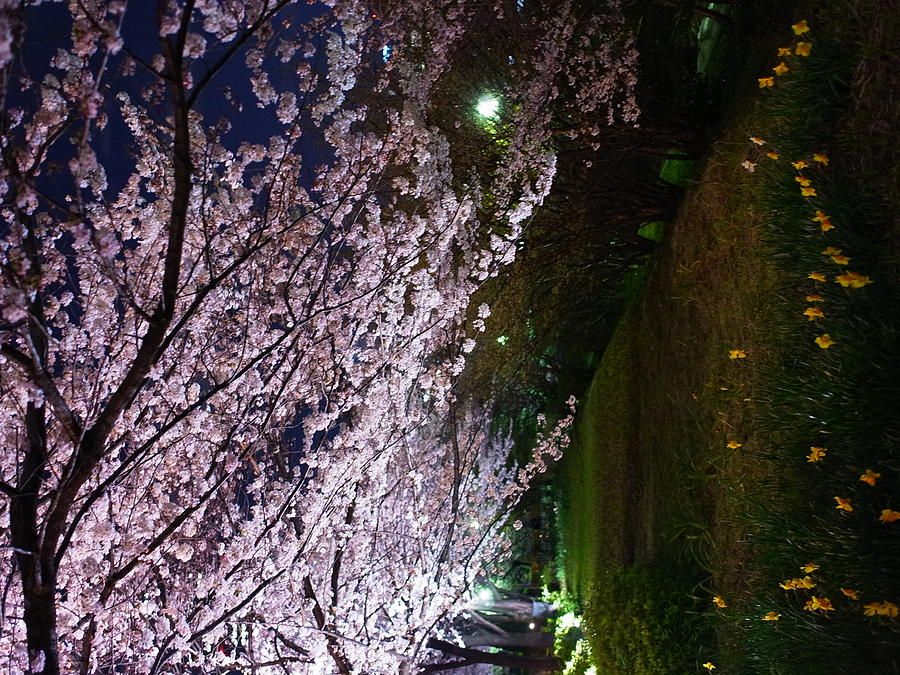 Sakura Blossom Photograph by Hamachi!s Getty Images Photo