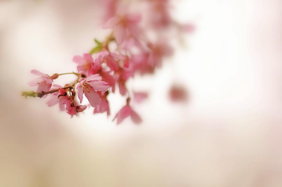 Sakura Dreams by Kaishin Chu