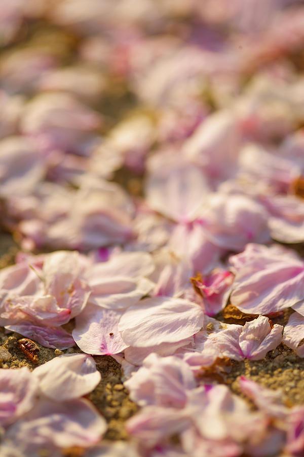 Sakura Petal Photograph by Photoaraki.com