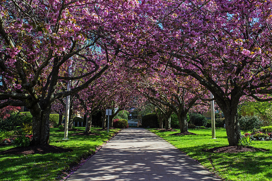 Salem State College Cherry Blossom Trees Salem MA by Toby McGuire