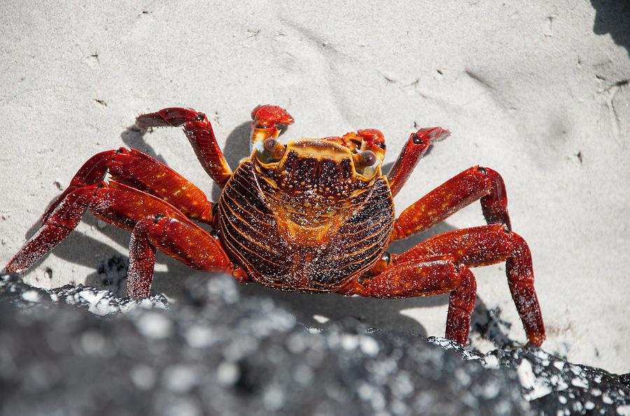 Sally Lightfoot Crab Photograph by Sascha Grabow