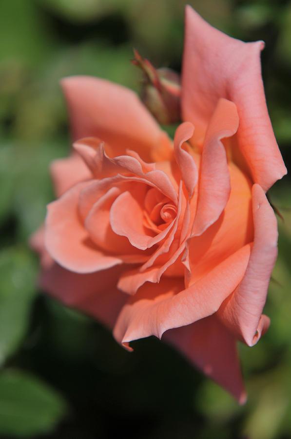 Salmon Pink Rose Liverpool Echo by Jenny Rainbow
