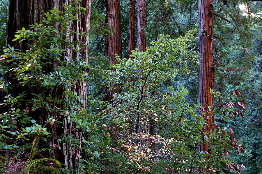 Samuel Taylor Redwoods 2 by David Armentrout