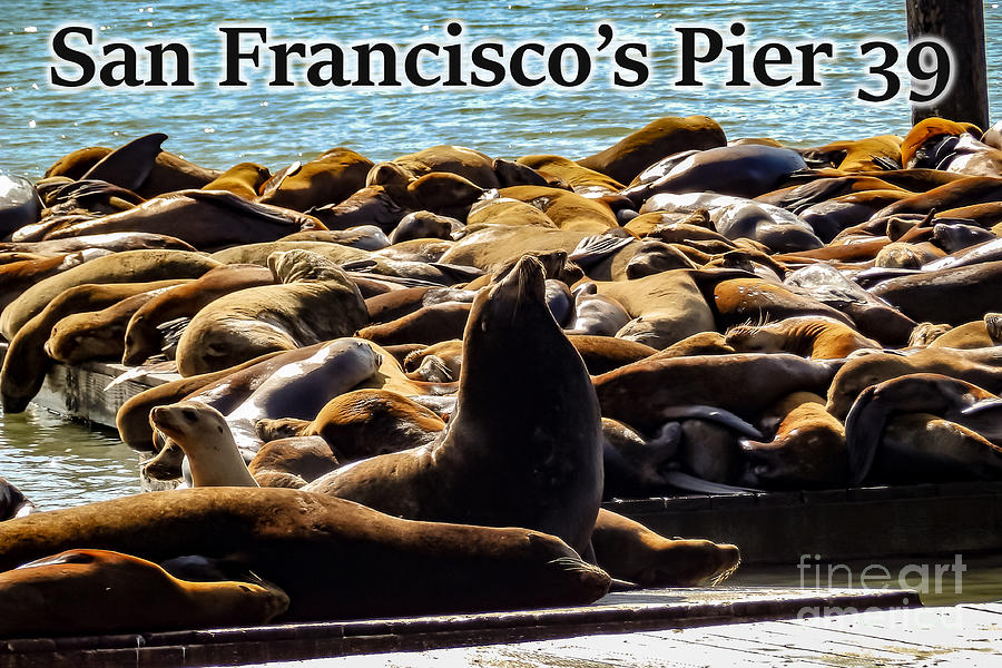 San Francisco Photograph - San Franciscos Pier 39 Walruses 2 by G Matthew Laughton