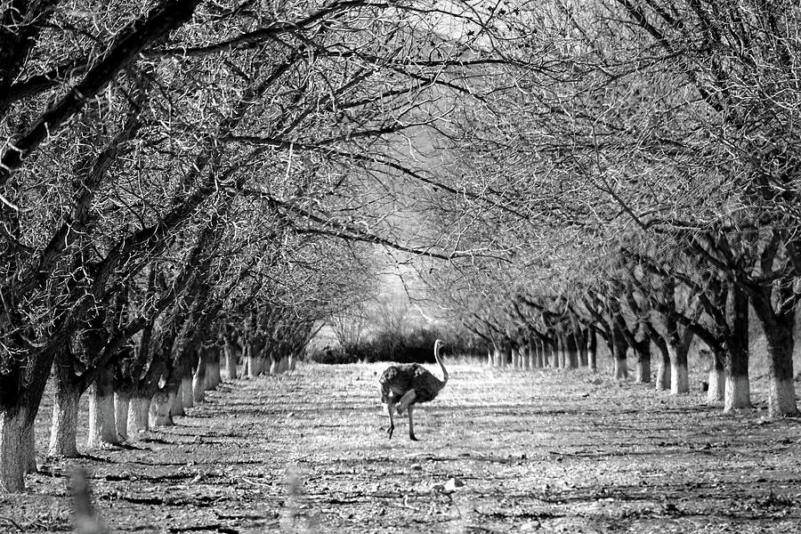 San Lorenzo Ostrich by Jeff Brunton