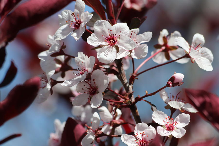 Sand Cherry Blossoms by TJ Fox