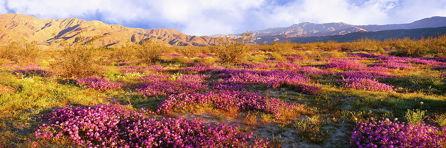 Horizontal Photograph - Sand Verbena Blooming On Valley Floor by Panoramic Images