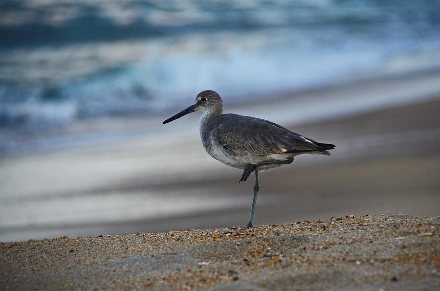 Sandpiper by the shore by Jordan Paw