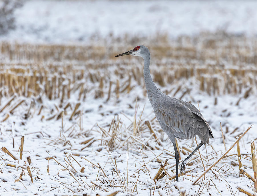 Sandhill Crane 2019-5 by Thomas Young