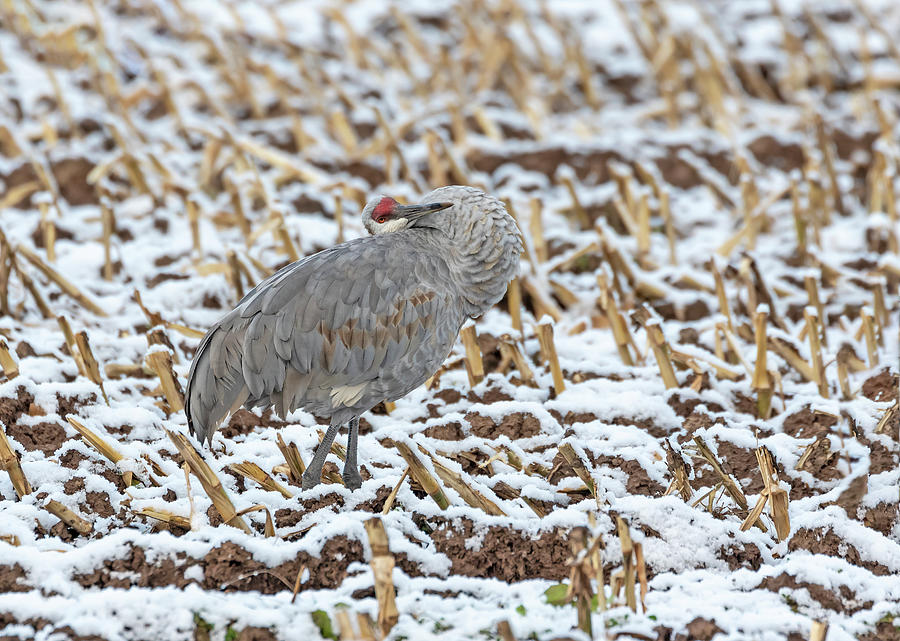 Sandhill Crane 2019-6 by Thomas Young