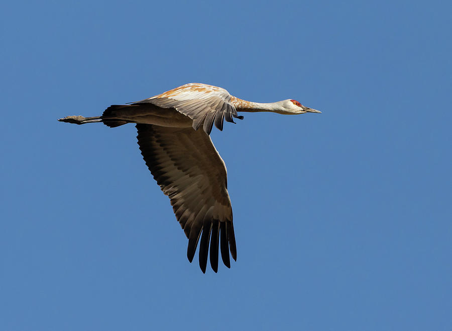 Sandhill Crane in Flight by Lisa Malecki