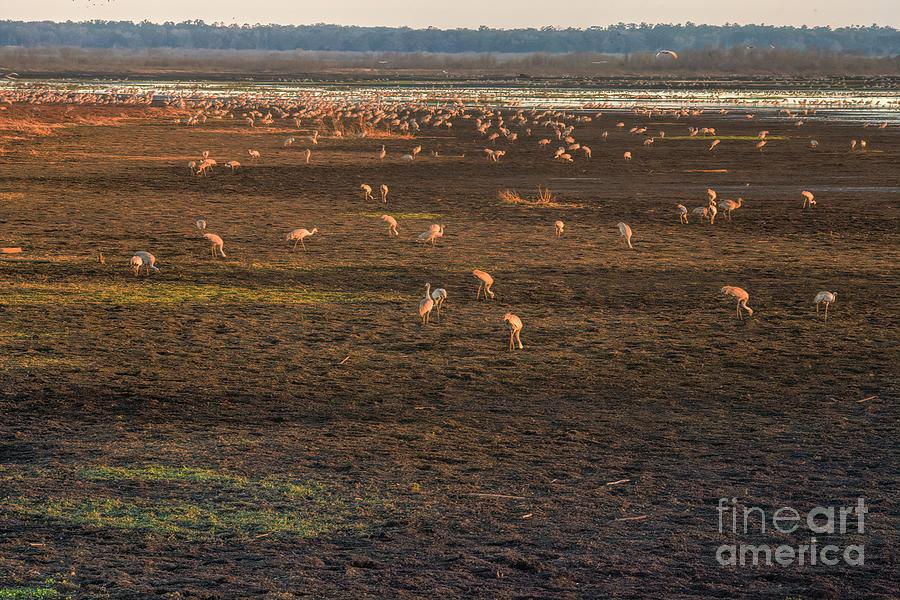 Sandhill Crane Winter Migration, Sunset At Paynes Prairie State Park by Felix Lai