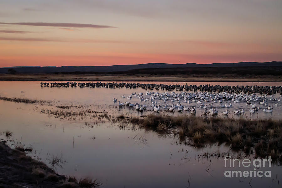 Sandhill Cranes and White Snow Geese at Sunset by Sabrina L Ryan