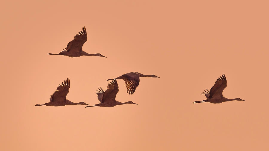 Sandhill Cranes at Sunset by Van Sutherland