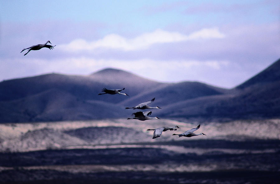 Sandhill Cranes Grus Canadensis In Photograph by Art Wolfe