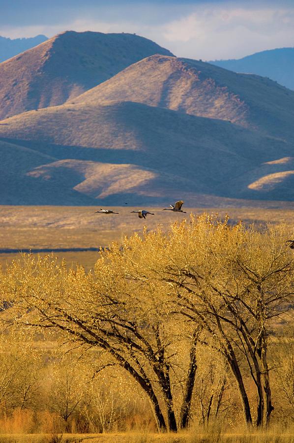 Nature Photograph - Sandhill Cranes Near The Bosque by Jeff Phillippi