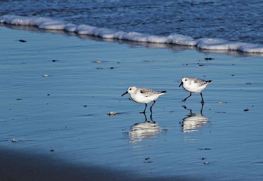 Sandpipers along the Shore by Carolyn Derstine