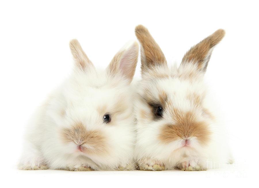 Sandy white Love Bunnies by Warren Photographic