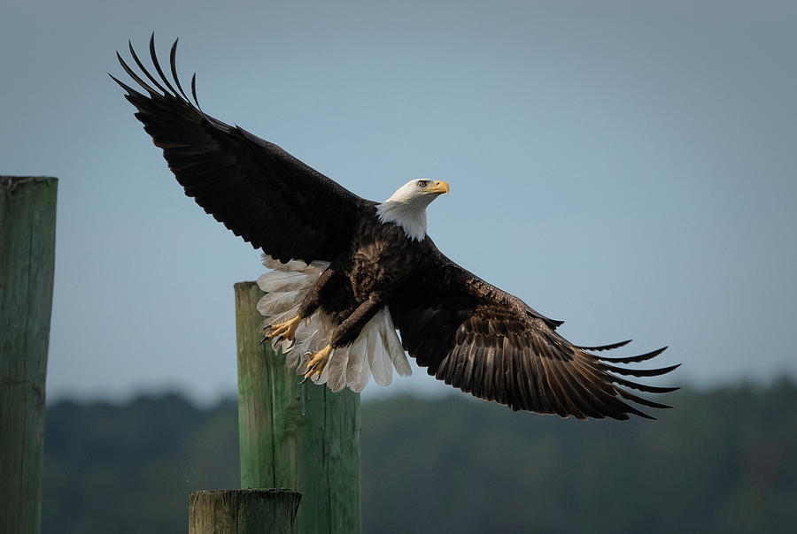 Sapelo Eagle by Kenny Nobles