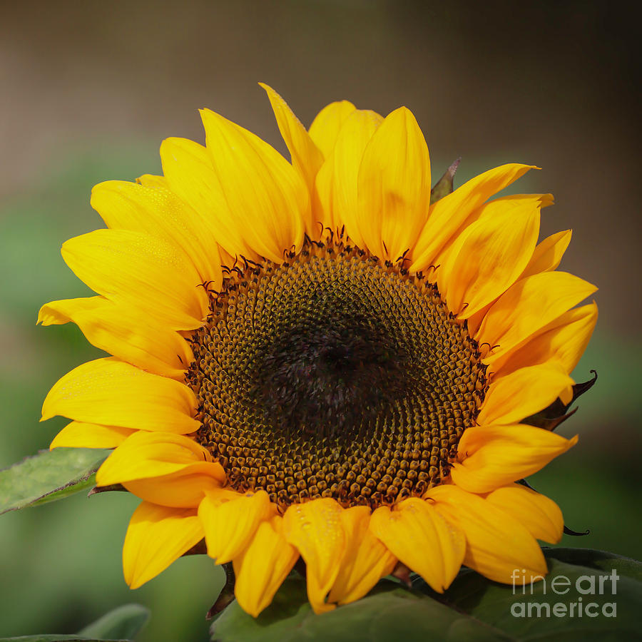 Sassy Spring Sunflower by Sabrina L Ryan