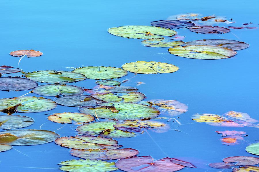 Savannah Lily Pads Acrylic by Douglas Wielfaert