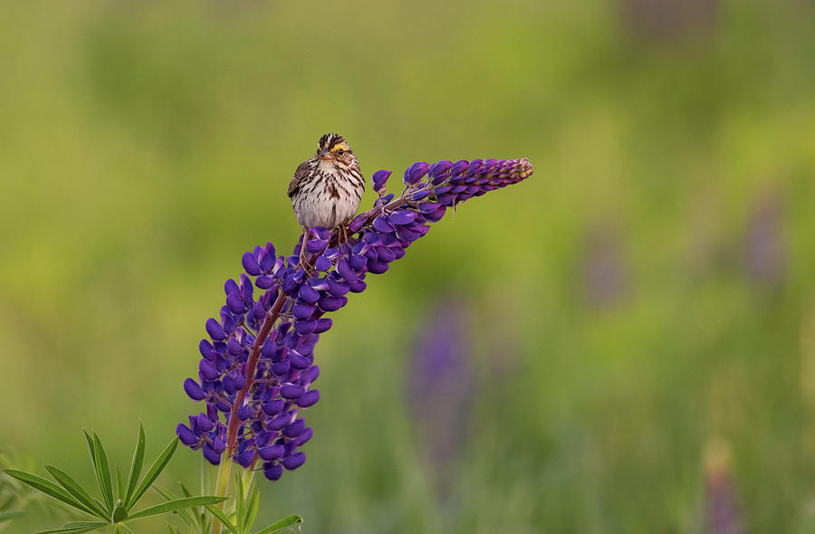 Savannah Sparrow by Rob Davies