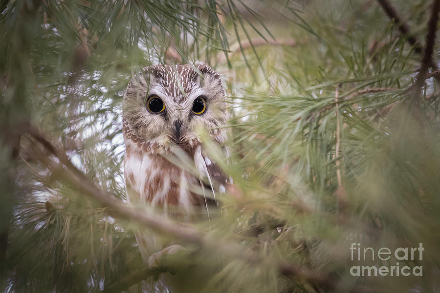 Saw-whet by Michael Greiner