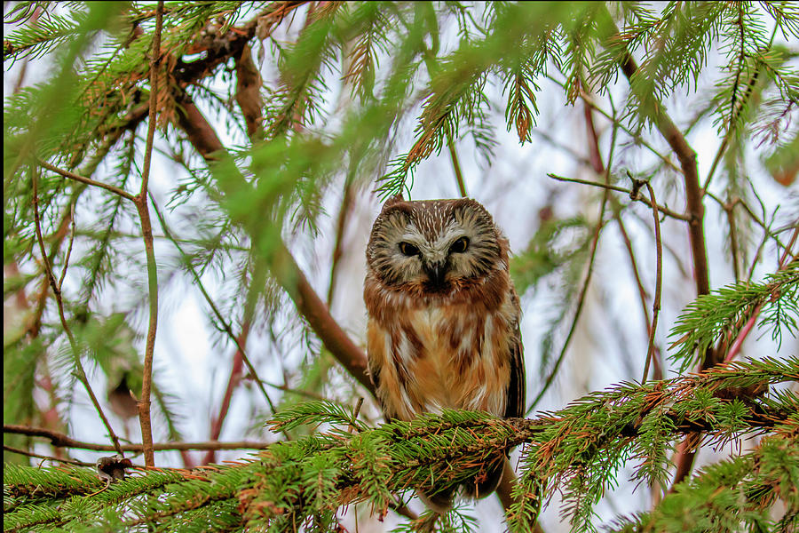 Saw-whet Owl by Gary Hall
