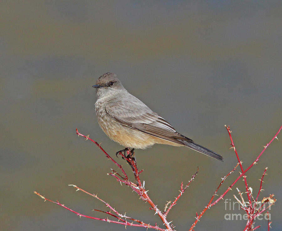 Flycatchers Photograph - Says Phoebe by Gary Wing