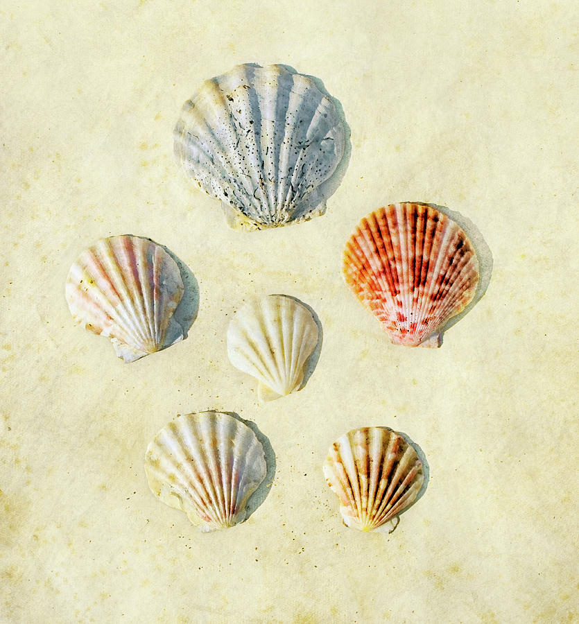 Scallop Shells Photograph by Paul Grand Image